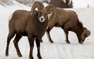 Bighorn Sheep in Jasper, Canada
